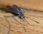 Германия использовала малярийных комаров