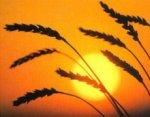 Глобальное потепление сократит урожай пшеницы