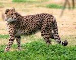 Почему гепарды так быстро бегают